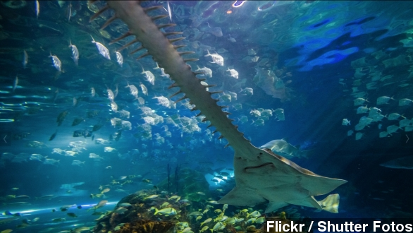 sawfish_archive_jconline_com